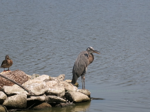 Great Blue Heron in Lost Lagoon in Stanley Park, Vancouver, B.C., Canada