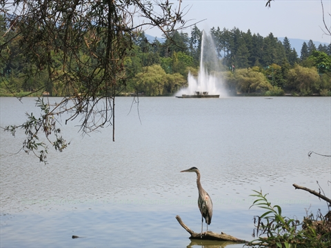 Great Blue Heron in Lost Lagoon