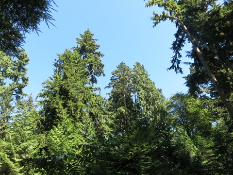 Tall Trees in Stanley Park, Vancouver, British Columbia Canada