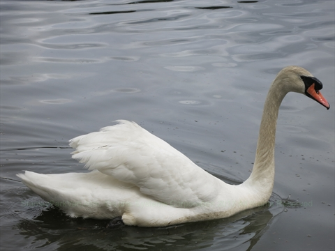 Swan in Lost Lagoon