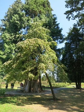 John Drainie Tree and Plaque in Stanley Park