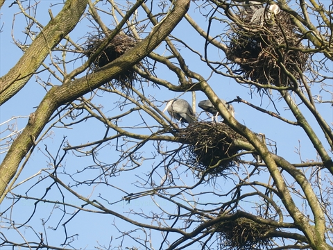 Heron Nests in Stanley Park, Vancouver, B.C., Canada