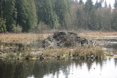 Beaver house in Beaver Lake in Stanley Park, Vancouver, B.C., Canada