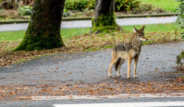 Coyote in Stanley Park